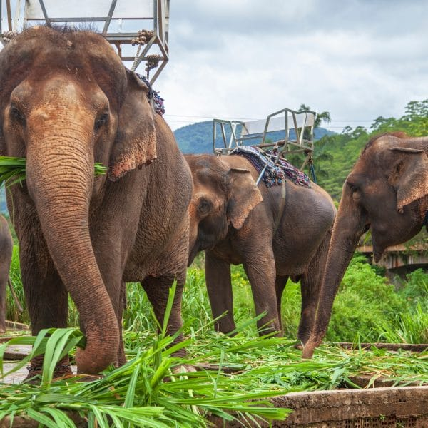 Elephant,For,Riding.,Elephant,With,A,Seat,For,Riding,,Vietnam