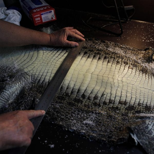 Reportage on HL Australia crocodile farming. Innisfail, North Queensland, Australia.Photograph shows HL Australia assistent manager Jane Stenzel measuring  a salted crocodile skin before being sent to the tannery in Singapore. Photograph by Dean Sewell/Oculi/Agence Vu for LVMH.